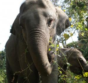 An Asian elephant calf feeds in India.