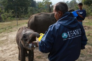 An orphaned elephant being fed by one of the IFAW-WTI staff.
