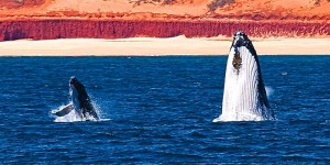 Two humpbacks, mother and calf, breach the waters off the Kimberley Coast.