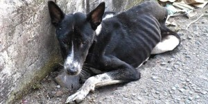 The suffering Balinese dog who died as the IFAW team tried to bring him to a vet and safety.