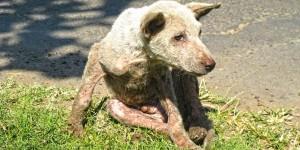 Un petit chiot bagarreur que l'équipe a baptisé « Fred », content de pouvoir manger et se reposer après son sauvetage