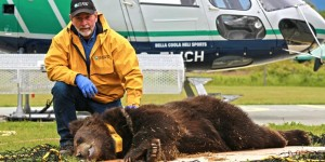 Dr. John Beecham with one of the tranqulized Canadian grizzly cubs.
