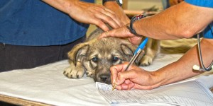 A dog has his vital signs taken prior to surgery in Cat Lake, Canada.