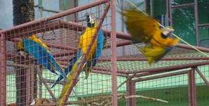 Blue and gold macaws are released back into the wild in Trinidad. Photo: Nadra Nathai-Gyan