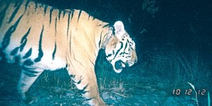 A rehabilitated tiger spotted in the wild by motion detection camera
