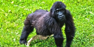 "One of the ""Kinigi Six"" gorillas. c. 2011 IFAW/M. Booth"