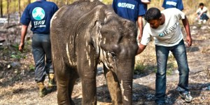 IFAW-WTI staff working to release one of the Asian elephant calves.