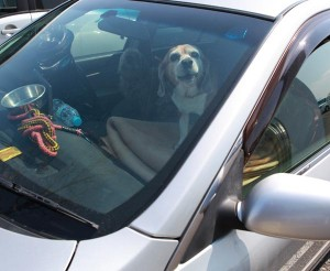 Japanese disaster victims are keeping their pets in their cars until a proper solution can be fabricated.