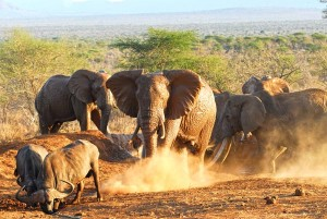 Elephants chasing buffalo from a waterhole in Tsavo. c. IFAW/Nana Grosse-Woodley