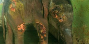 The rescued and now orphaned Indian elephant calf is stable and recovering.