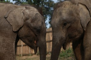 Two of six orphaned elephant calves about to be moved from Kaziranga to Manas National Park in the northeast Indian state of Assam.
