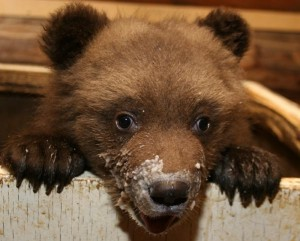A Russian bear cub after his feeding.