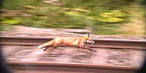 A desperate fox runs from a group of hunt dogs down a railway in the United Kingdom.