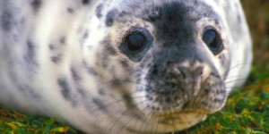 A juvenile grey seal.