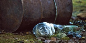 https://blog.ifaw.org - A gray seal lies sheltered beside a rusty oil drum on the Shetland Isles in Scotland. c. 1993 IFAW/Richard Sobol