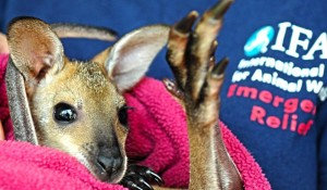 IFAW staff in Queensland Australia help a kangaroo affected by flooding.
