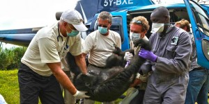 Orphan gorillas arrive back home in Congo after successful airlift operation.