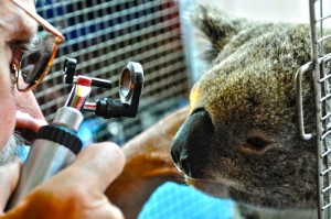 Tara the koala, a victim of the floods, being examined by IFAW staff.