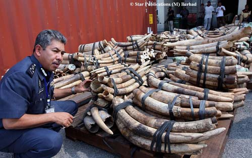 Nearly 700 tusks recently seized in Malaysia (Photo credit: Star Publications (M) Berhad)
