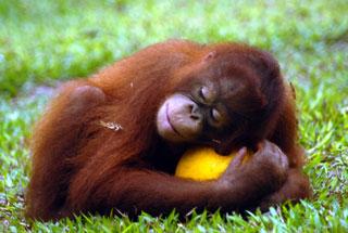 Orangutan_sleeping