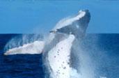 Whale Breach Wallpaper