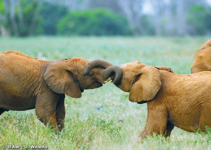 world of elephants photo gallery ifaw international fund for