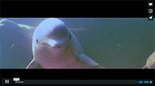 Meet the Belugas Video
