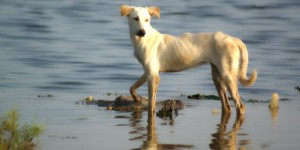 A dog in the Pakistani flood plain.