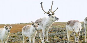 The Peary caribou population has plummeted by 84% over the past 40 years.