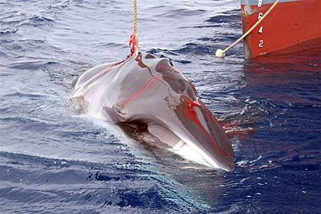 A harpooned minke whale off the bow of a Japanese whaling vessel. Source: ABC News Australia