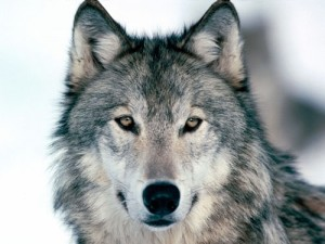 A Swedish wolf, like one of 19 recently killed by hunters.