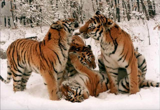 Tigers_in_snow