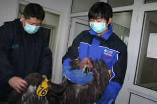Vulturefrommongolia