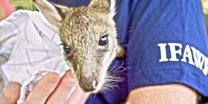 A wallaby victim of Cyclone Yasi being tended to by IFAW staff.