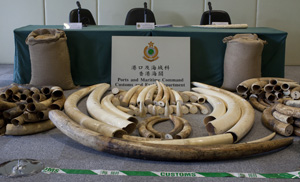 Ivory Seizure in Hong Kong SAR of china