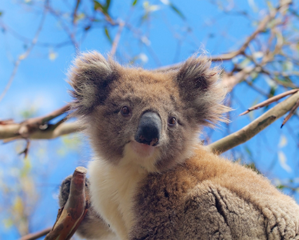 Be part of the solution – join the 2014 Koala Count!
