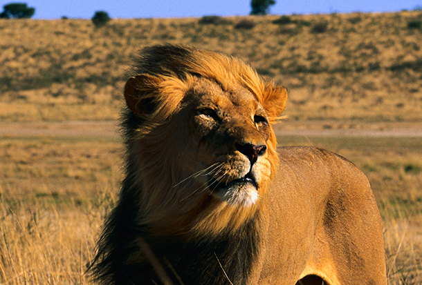"Welcome ""threatened"" listing would help protect African lions from trophy huntin"