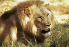 U.S. Government Lists African Lions as Threatened  Under Endangered Species Act