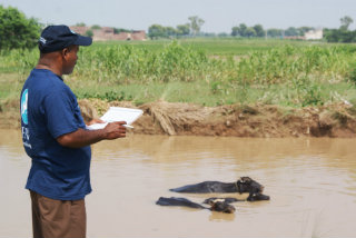 An assessment team member monitors cattle in a flooded field in Pakistan.