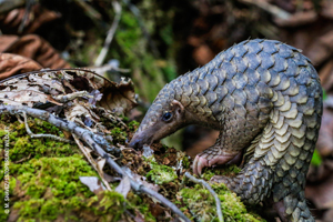 China's Largest Seizure of Pangolin Scales, Despite Global Ban, Demonstrates Nee