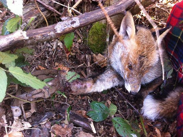 Le renard pris dans un piège à mâchoires. ©C. Sissler-Bienvenu
