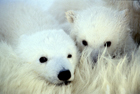 Fate of sharks, polar bears and lions on the table at conservation summit in Qui