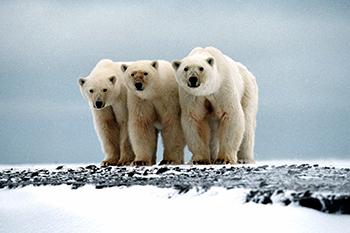 International polar bear conservation: Canada vs the world?