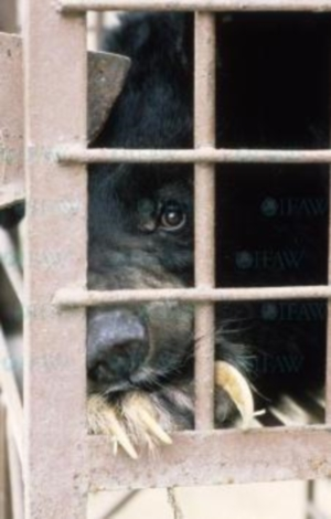 Chu Chu was rescued from a cruel bile farm, where many Asiatic Black Bears are confined to small cages. This moon bear has over-grown claws, which, when left un-treated, can grow into their paws. Luckily, Chu Chu was able to escape such a cruel fate.