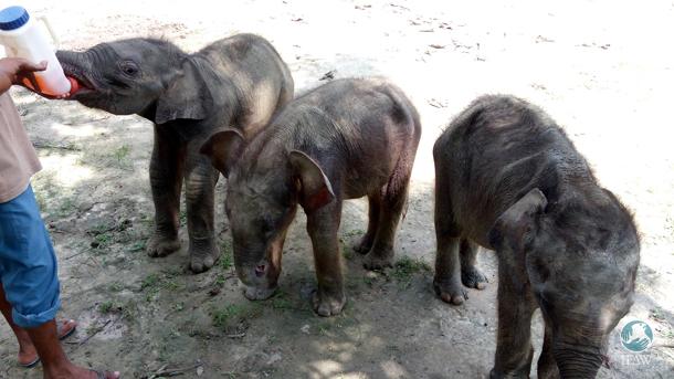 Olifantje gered uit afvoerput Indiase theeplantage