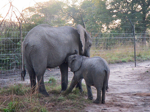 Next stage in orphan elephant release programme complete