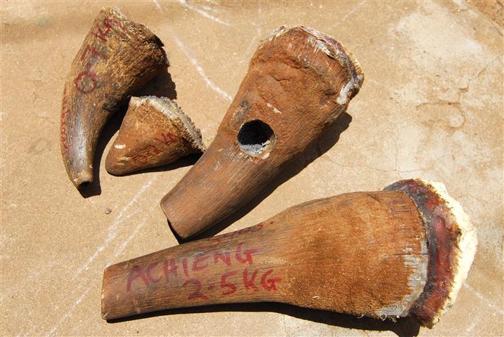 Wird hoch gehandelt auf dem Schwarzmarkt: Nashorn-Horn