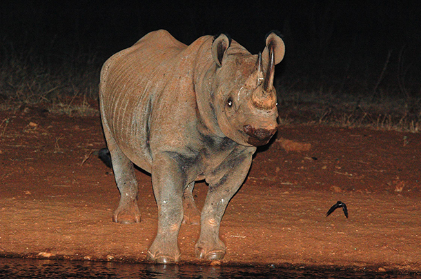 Help save one Black Rhino.