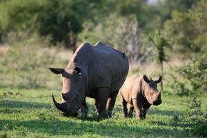 Le braconnage des rhinocéros atteint un niveau record en Afrique du Sud