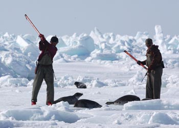 Sealers take turns clubbing harp seals in the Gulf of St. Lawrence, Canada during the 2009 commercial seal hunt. Céline Sissler-Bienvenu, urges the EU to defend the seal ban in the face of opposition from Canada and Norway.